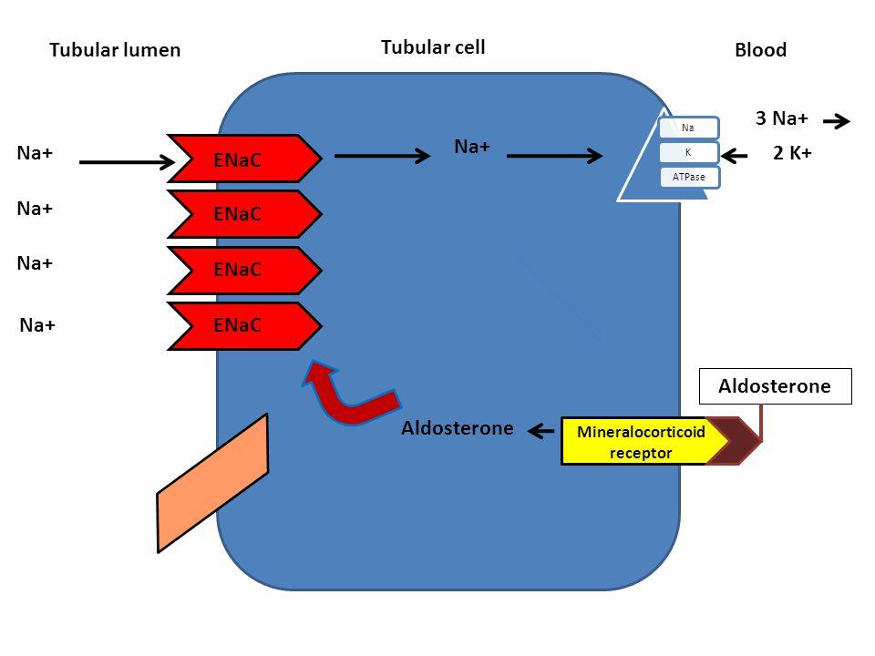 Tubular cell Tubular lumen NaKATPase Blood Aldosterone ENaC Na+ 3 Na+ 2 K+ Na+ Mineralocorticoid receptor Aldosterone