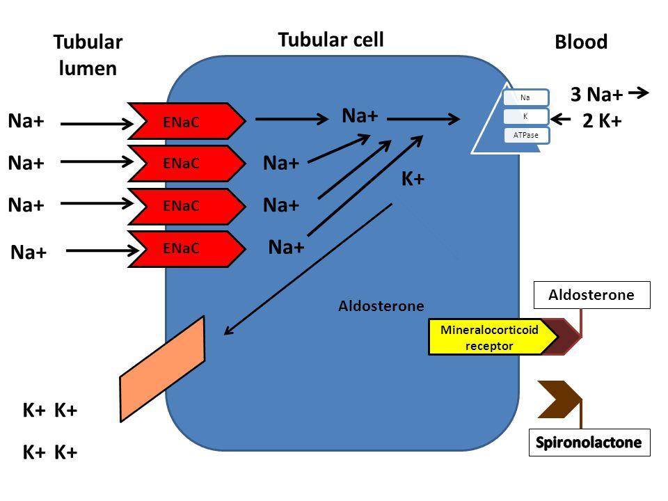 Tubular cell Tubular lumen NaKATPase Blood Aldosterone ENaC Na+ K+ Na+ 3 Na+ 2 K+ Na+ K+ Aldosterone Mineralocorticoid receptor
