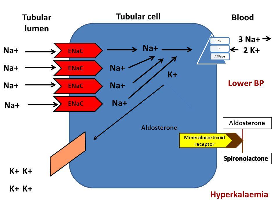 Tubular cell Tubular lumen NaKATPase Blood Aldosterone ENaC Na+ K+ Na+ 3 Na+ 2 K+ Na+ ENaC Na+ K+ Aldosterone Mineralocorticoid receptor Lower BP Hype