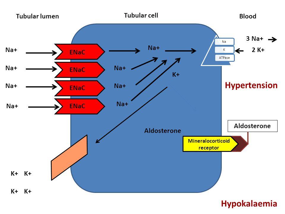 Tubular cell Tubular lumen NaKATPase Blood Aldosterone ENaC Na+ K+ Na+ 3 Na+ 2 K+ Na+ K+ Aldosterone Mineralocorticoid receptor Hypertension Hypokalae