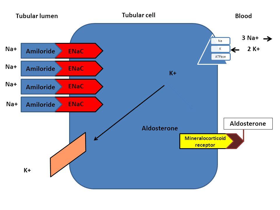 Tubular cell Tubular lumen NaKATPase Blood Aldosterone ENaC Amiloride Na+ K+ Na+ 3 Na+ 2 K+ Mineralocorticoid receptor Aldosterone