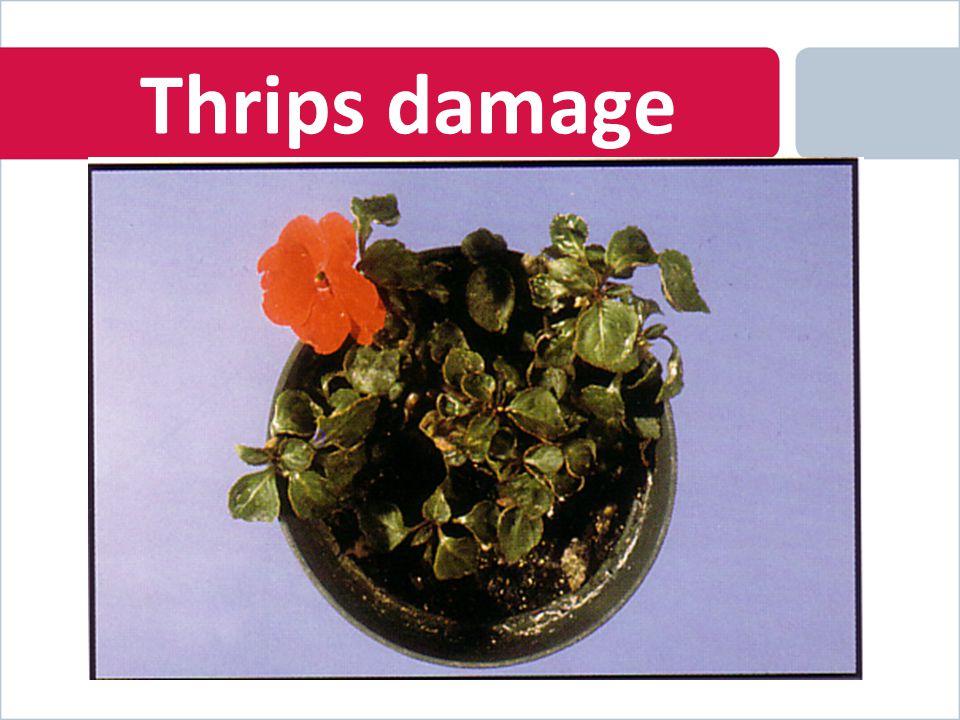 Thrips damage