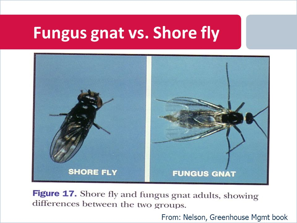Fungus gnat vs. Shore fly From: Nelson, Greenhouse Mgmt book