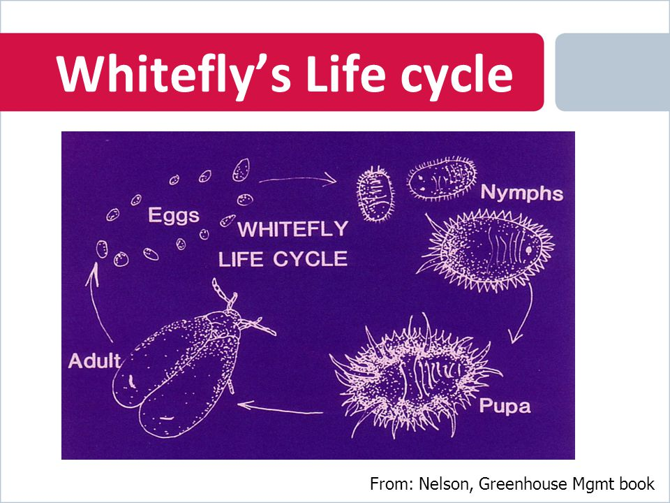 Whitefly's Life cycle From: Nelson, Greenhouse Mgmt book