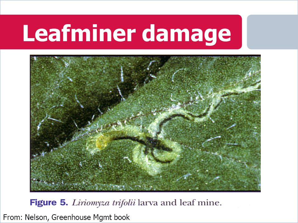 Leafminer damage From: Nelson, Greenhouse Mgmt book