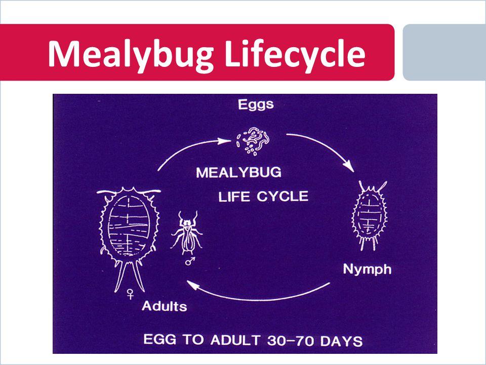Mealybug Lifecycle