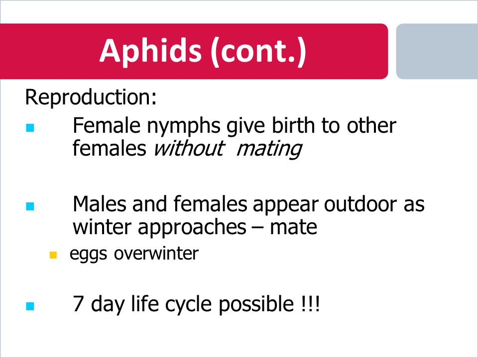 Aphids (cont.) Reproduction: Female nymphs give birth to other females without mating Males and females appear outdoor as winter approaches – mate eggs overwinter 7 day life cycle possible !!!