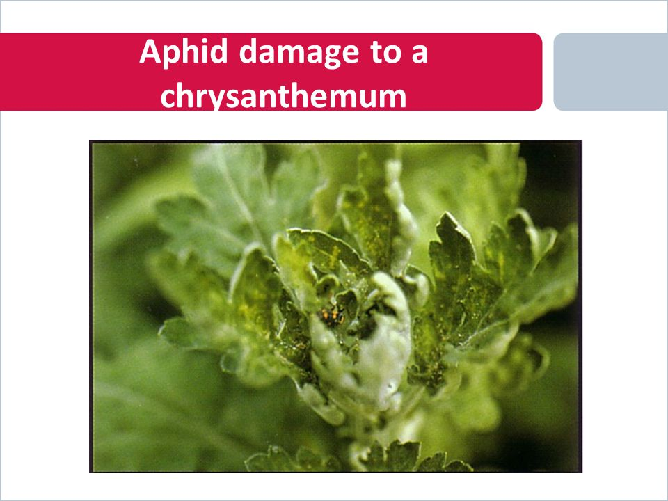 Aphid damage to a chrysanthemum
