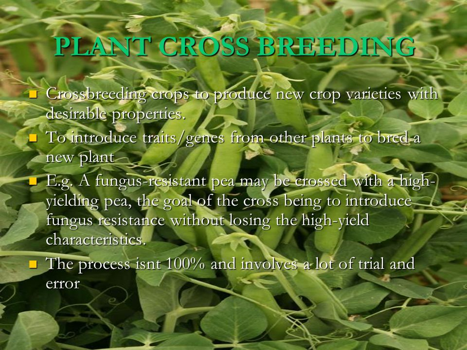 DESIRBALE TRAITS FOR PLANTS Traits that breeders have tried to incorporate into crop plants and animals in the last 100 years include: Traits that breeders have tried to incorporate into crop plants and animals in the last 100 years include: Increased quality and yield of the crop Increased quality and yield of the crop Increased tolerance of environmental pressures (salinity, extreme temperature, drought) Increased tolerance of environmental pressures (salinity, extreme temperature, drought) Resistance to viruses, fungi and bacteria Resistance to viruses, fungi and bacteria Increased tolerance to insect pests Increased tolerance to insect pests Increased tolerance of herbicides Increased tolerance of herbicides