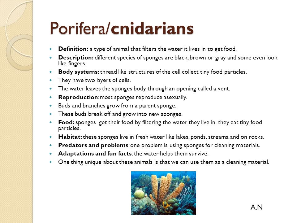 Porifera/cnidarians Definition: a type of animal that filters the water it lives in to get food. Description: different species of sponges are black,