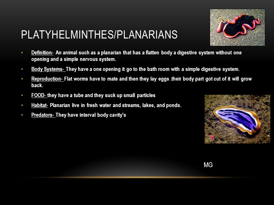 PLATYHELMINTHES/PLANARIANS Definition- An animal such as a planarian that has a flatten body a digestive system without one opening and a simple nervo