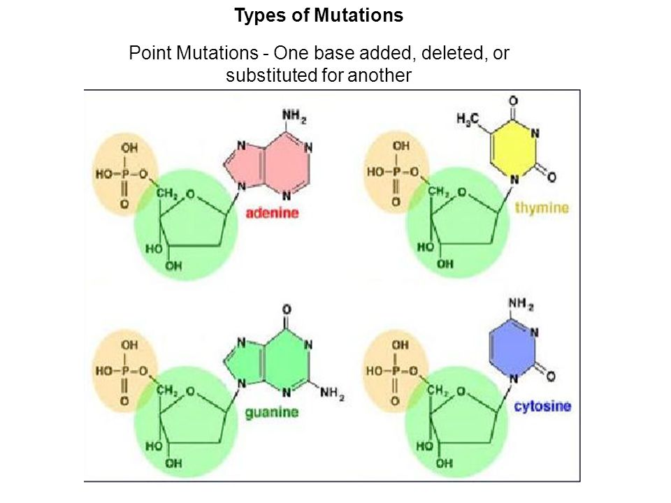 Types of Mutations Point Mutations - One base added, deleted, or substituted for another
