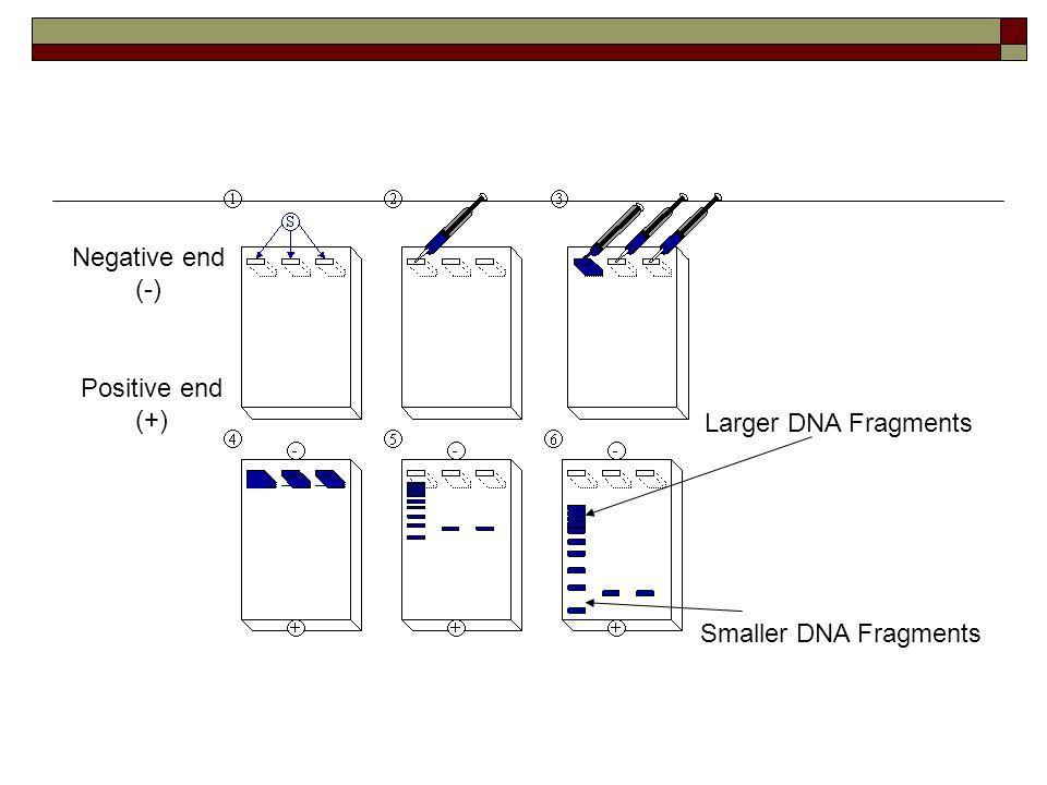 Larger DNA Fragments Smaller DNA Fragments Negative end (-) Positive end (+)