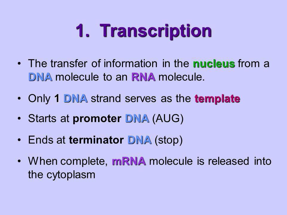 1. Transcription Nuclear membrane Transcription RNA Processing Translation DNA mRNA Ribosome Protein Eukaryotic Cell