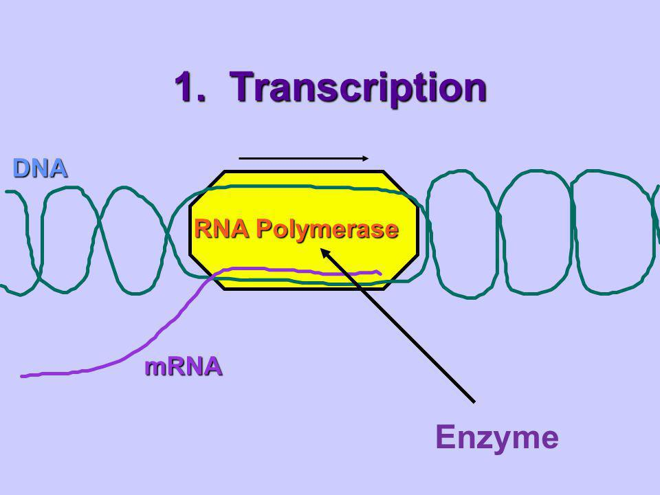 Transcription Takes places in the nucleus of the cell The process by which the information from DNA is transferred to RNA.
