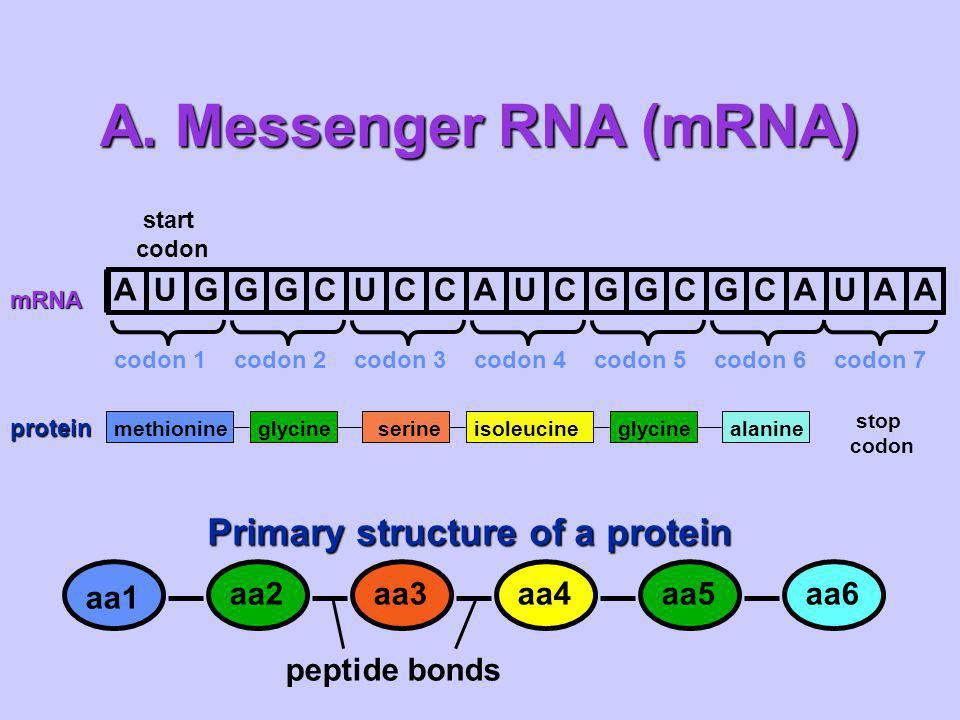 A.Messenger RNA (mRNA) proteinCarries the information for a specific protein.