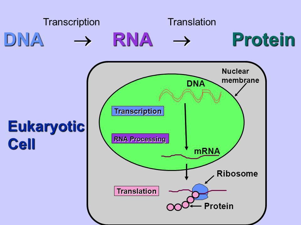 RNA is composed of 3 parts 1.Ribose: smaller sugar than deoxyribose of DNA 2.Phosphate 3.4 Nitrogenous Bases A,G,U,C RNA is single stranded and thus smaller & able to leave the nucleus of the cell