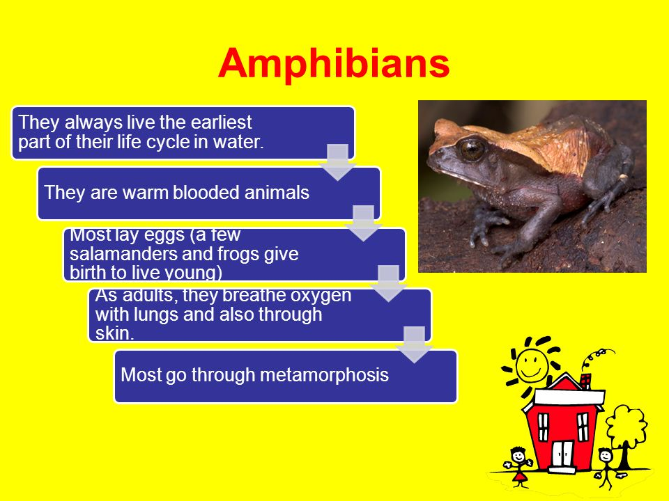 Amphibians They always live the earliest part of their life cycle in water. They are warm blooded animals Most lay eggs (a few salamanders and frogs g