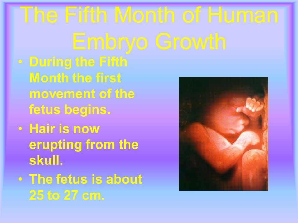 The Fifth Month of Human Embryo Growth During the Fifth Month the first movement of the fetus begins.
