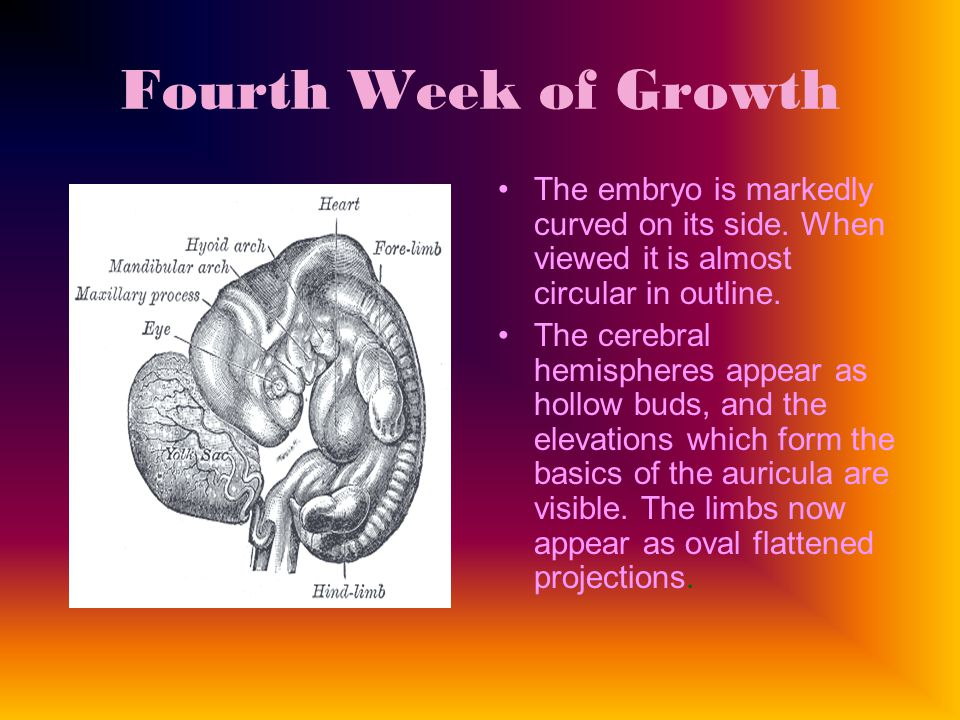 Fourth Week of Growth The embryo is markedly curved on its side.
