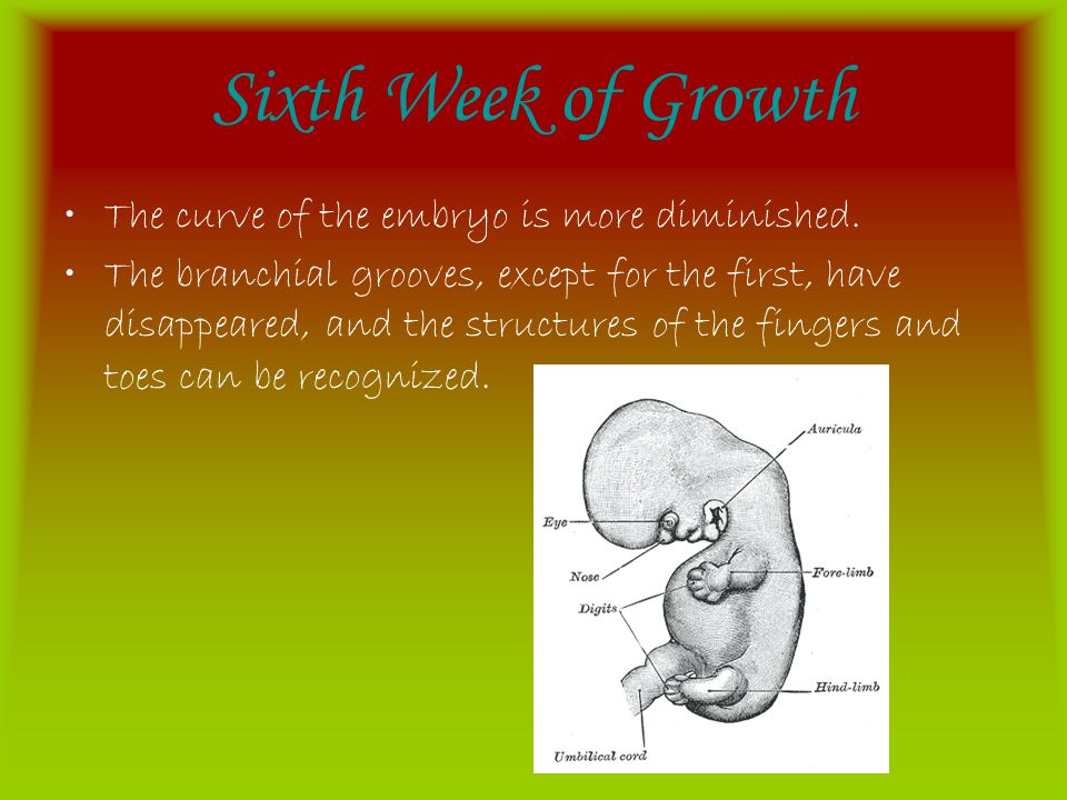 Sixth Week of Growth The curve of the embryo is more diminished.