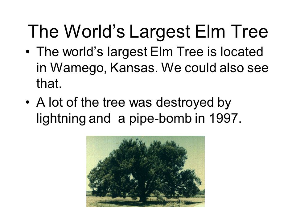 The World's Largest Elm Tree The world's largest Elm Tree is located in Wamego, Kansas.