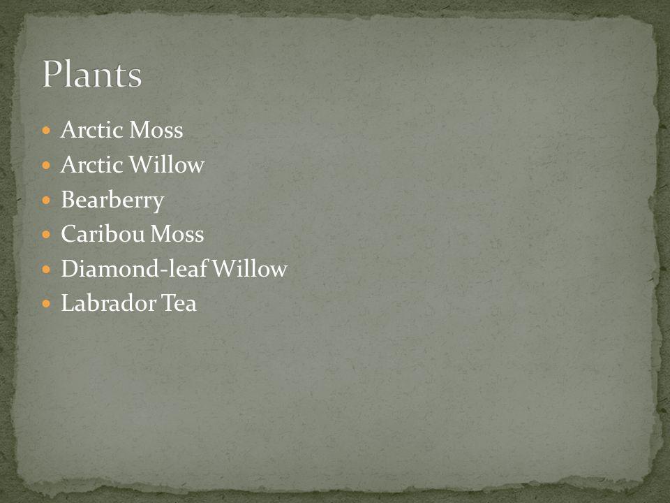 Arctic Moss Arctic Willow Bearberry Caribou Moss Diamond-leaf Willow Labrador Tea