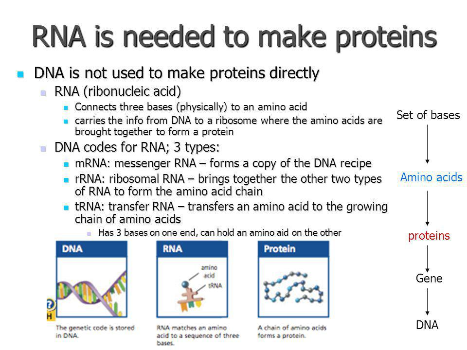RNA is needed to make proteins DNA is not used to make proteins directly DNA is not used to make proteins directly RNA (ribonucleic acid) RNA (ribonucleic acid) Connects three bases (physically) to an amino acid Connects three bases (physically) to an amino acid carries the info from DNA to a ribosome where the amino acids are brought together to form a protein carries the info from DNA to a ribosome where the amino acids are brought together to form a protein DNA codes for RNA; 3 types: DNA codes for RNA; 3 types: mRNA: messenger RNA – forms a copy of the DNA recipe mRNA: messenger RNA – forms a copy of the DNA recipe rRNA: ribosomal RNA – brings together the other two types of RNA to form the amino acid chain rRNA: ribosomal RNA – brings together the other two types of RNA to form the amino acid chain tRNA: transfer RNA – transfers an amino acid to the growing chain of amino acids tRNA: transfer RNA – transfers an amino acid to the growing chain of amino acids Has 3 bases on one end, can hold an amino aid on the other Has 3 bases on one end, can hold an amino aid on the other proteins Amino acids Set of bases Gene DNA