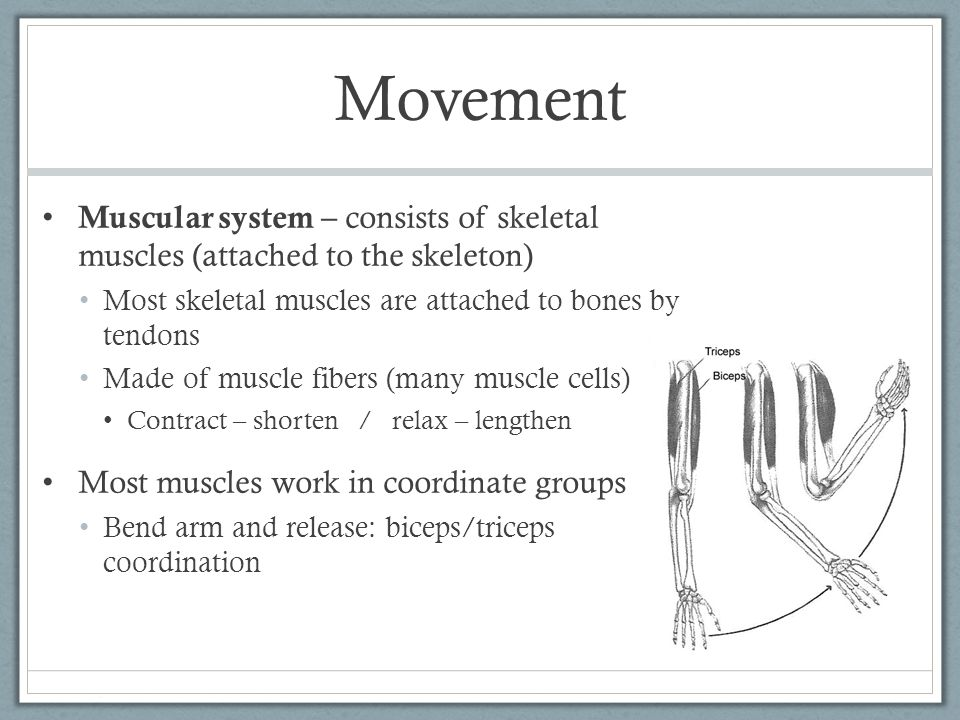 Muscles grow and heal Baby neck muscles not strong enough to hold up head Childhood/adolescence: develop muscular coordination and become more graceful in their movements Exercise: muscles may get big # muscle fibers does NOT increase thickness of the muscle fibers and surrounding tissues increases Muscles can become sore during or after exercise: During exercise the muscle cells may not receive enough oxygen for cellular respiration  switch to fermentation for energy Fermentation causes the buildup of lactic acid in muscles  cramps or aches Muscles can also be damaged (overstretched or torn)