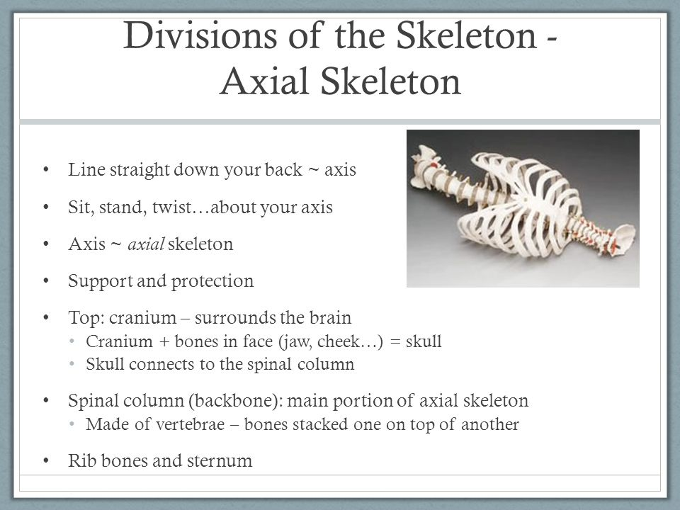 Divisions of the Skeleton - Axial Skeleton Line straight down your back ~ axis Sit, stand, twist…about your axis Axis ~ axial skeleton Support and pro
