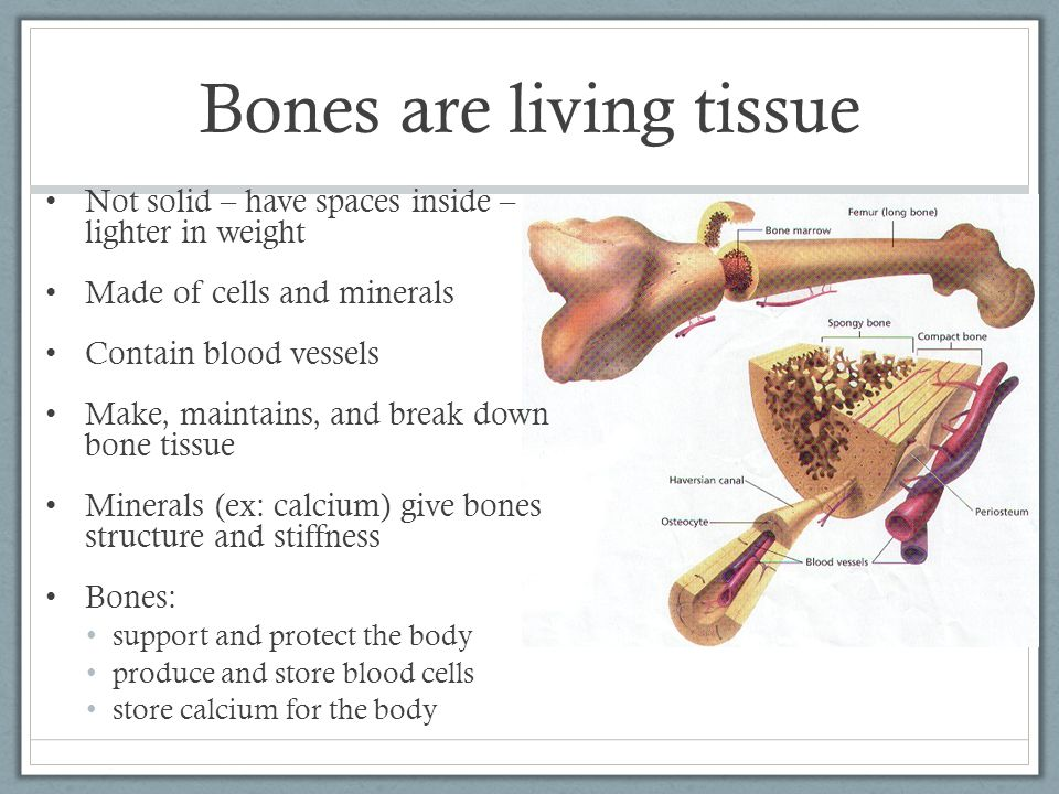 Bones are living tissue Not solid – have spaces inside – lighter in weight Made of cells and minerals Contain blood vessels Make, maintains, and break