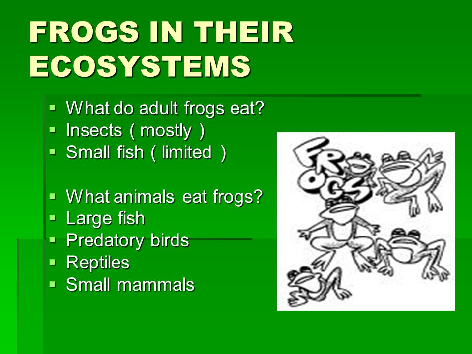 FROGS IN THEIR ECOSYSTEMS  What do adult frogs eat?  Insects ( mostly )  Small fish ( limited )  What animals eat frogs?  Large fish  Predatory