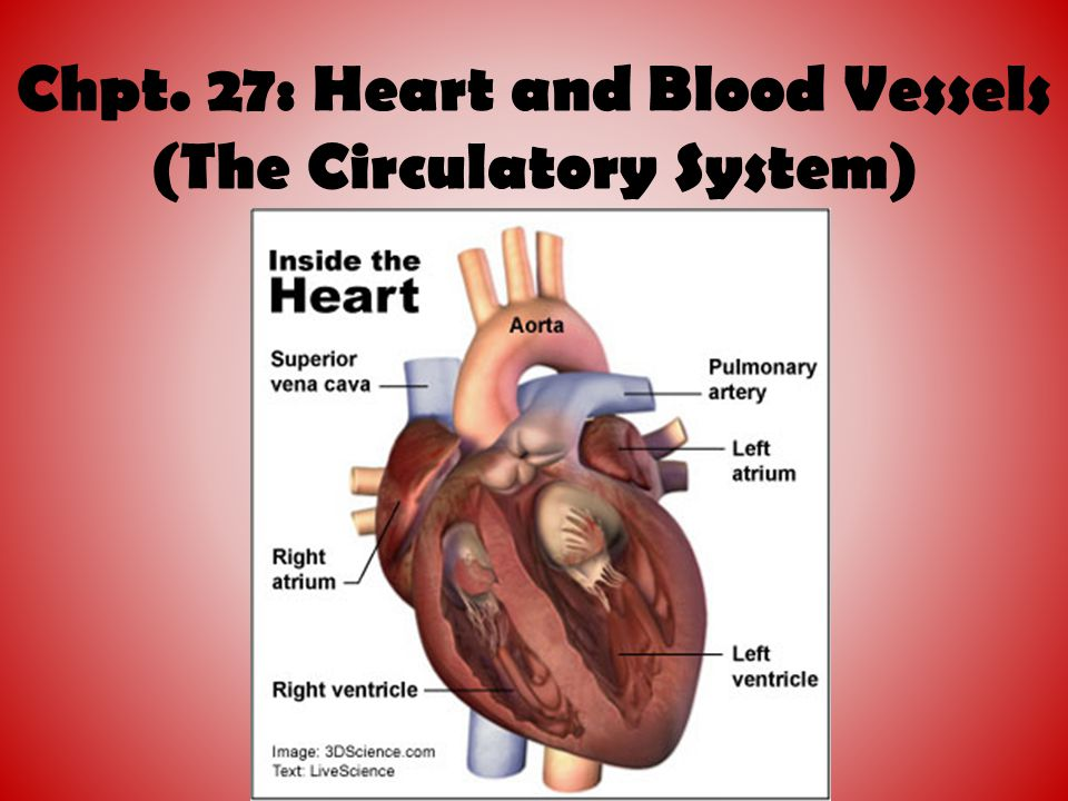 Blood flow through the heart Oxygentated Blood returning to the heart from the lungs enters the left atrium via the pulmonary veins It is pumped through the bicuspid valves to the left ventricle The left ventricle contracts pumping blood out to the body through the semilunar valve in the aorta.