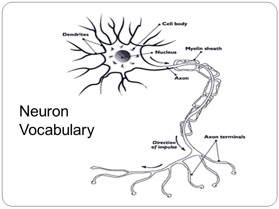 Neuron Vocabulary