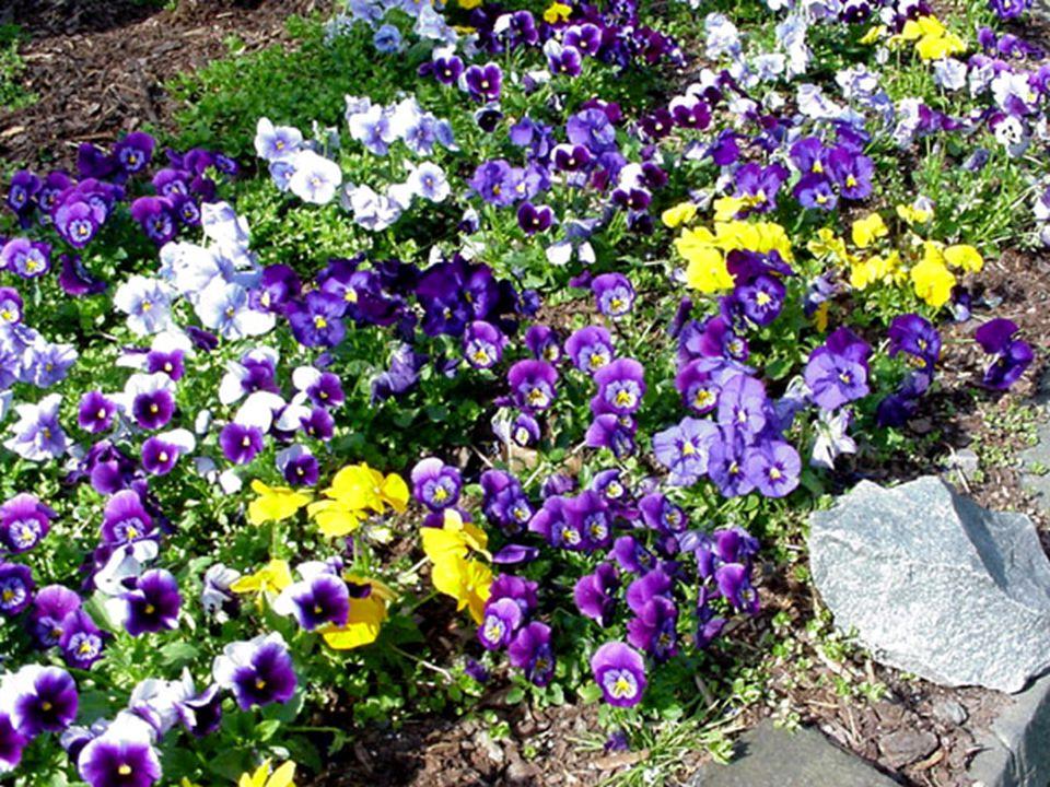 FAMILY  Violaceae