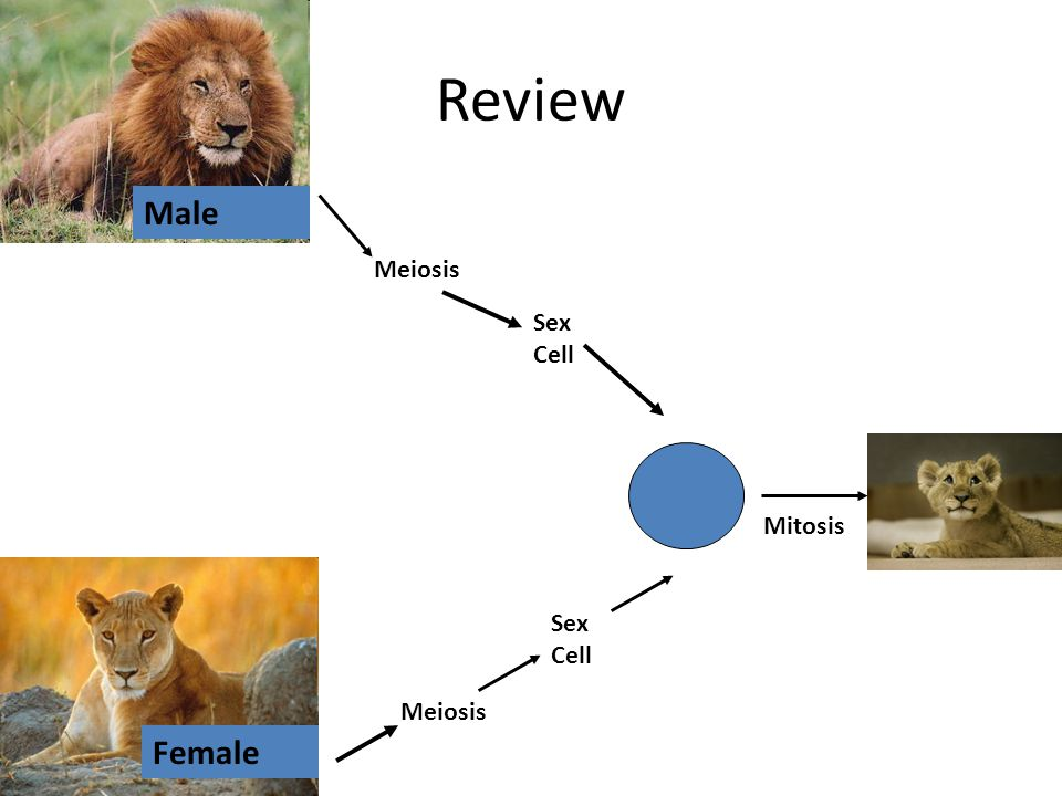 Review Female Male Meiosis Sex Cell Mitosis