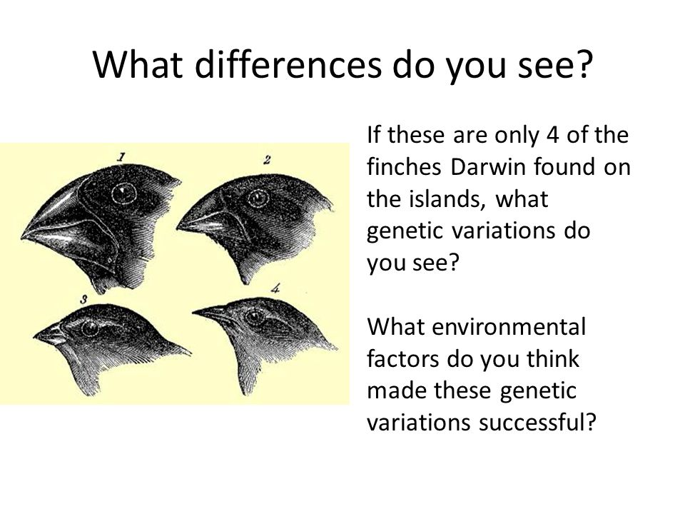 What differences do you see? If these are only 4 of the finches Darwin found on the islands, what genetic variations do you see? What environmental fa