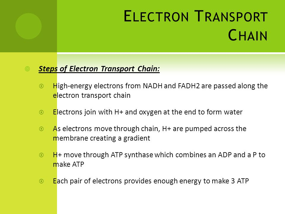 E LECTRON T RANSPORT C HAIN  Steps of Electron Transport Chain:  High-energy electrons from NADH and FADH2 are passed along the electron transport chain  Electrons join with H+ and oxygen at the end to form water  As electrons move through chain, H+ are pumped across the membrane creating a gradient  H+ move through ATP synthase which combines an ADP and a P to make ATP  Each pair of electrons provides enough energy to make 3 ATP