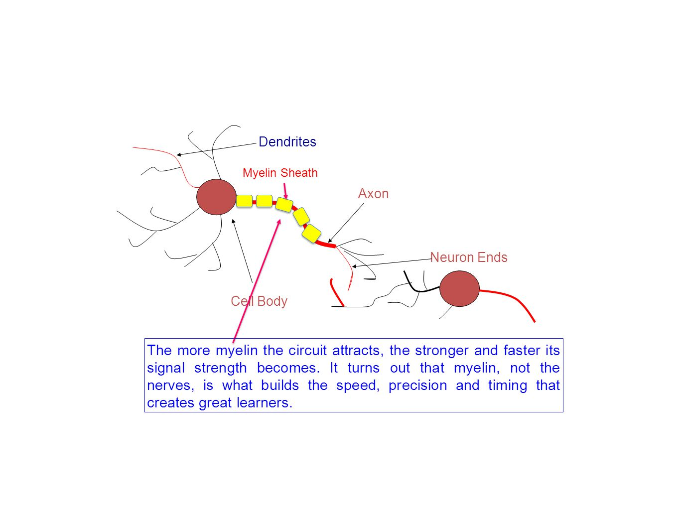 Axon Neuron Ends Cell Body Dendrites Myelin Sheath The more myelin the circuit attracts, the stronger and faster its signal strength becomes.