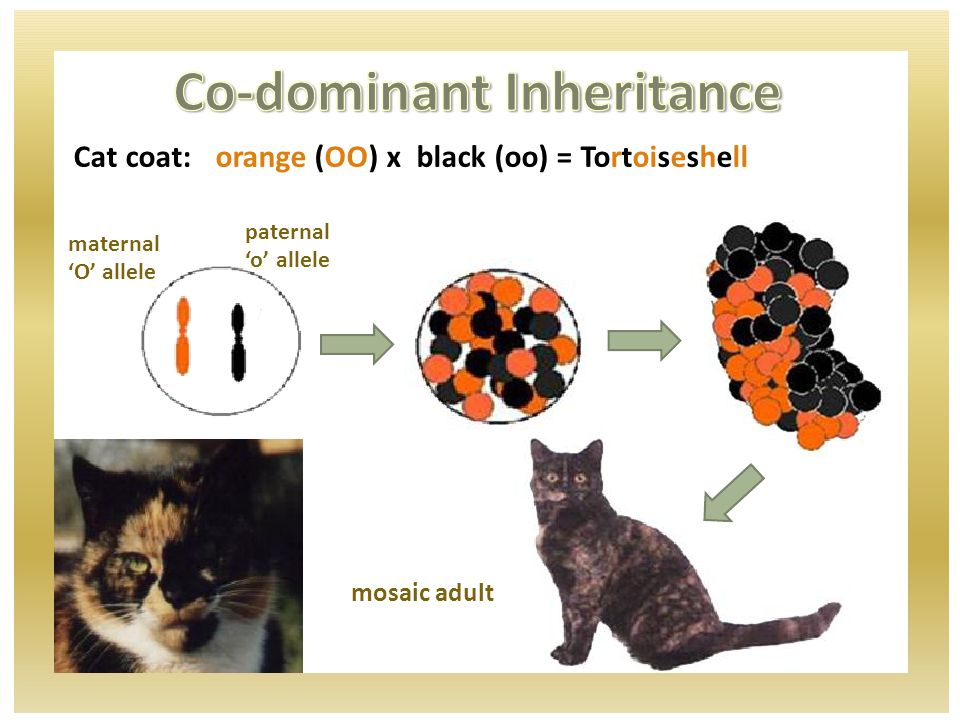 Cat coat: orange (OO) x black (oo) = Tortoiseshell maternal 'O' allele paternal 'o' allele mosaic adult