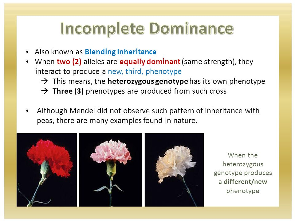 A red hibiscus is crossed with a white hibiscus What are their genotypes.