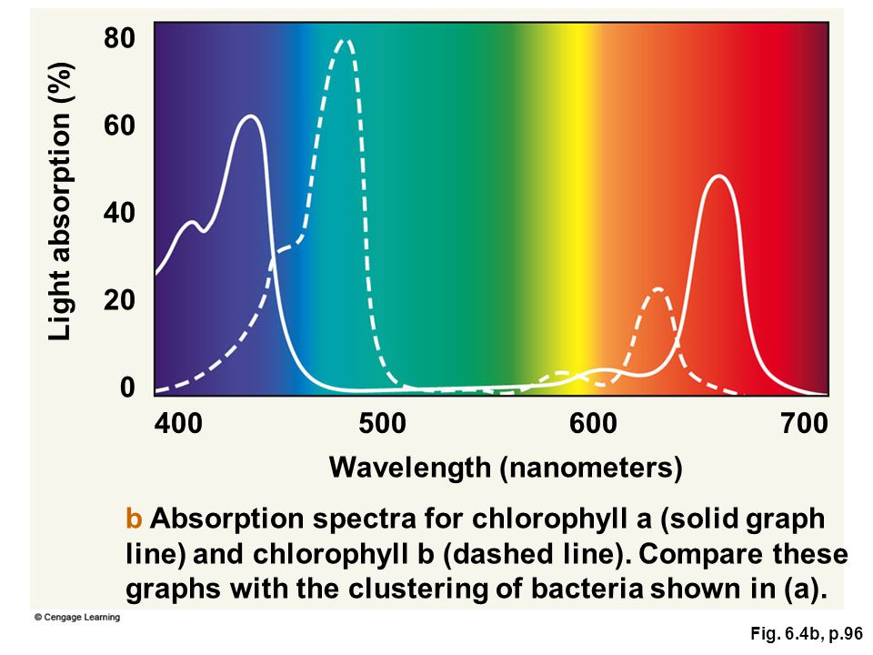 Fig. 6.4b, p.96 Wavelength (nanometers) b Absorption spectra for chlorophyll a (solid graph line) and chlorophyll b (dashed line). Compare these graph