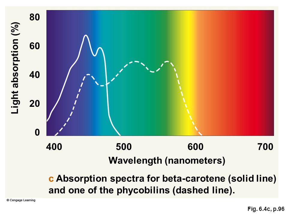 Fig. 6.4c, p.96 Wavelength (nanometers) Light absorption (%) 400500600700 80 0 20 40 60 c Absorption spectra for beta-carotene (solid line) and one of
