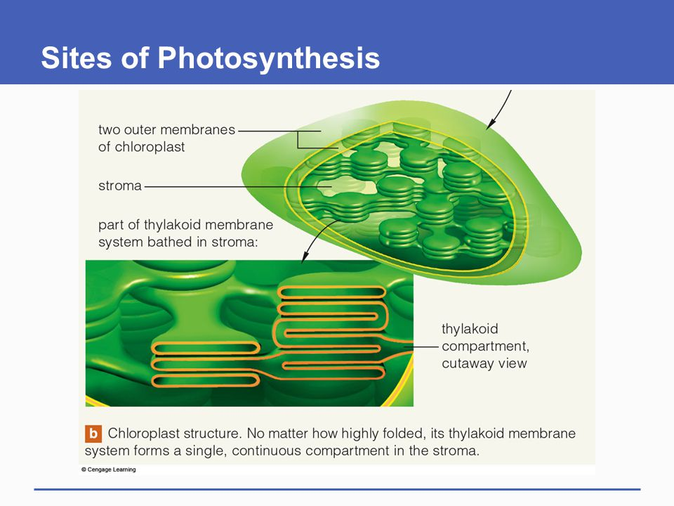 Sites of Photosynthesis