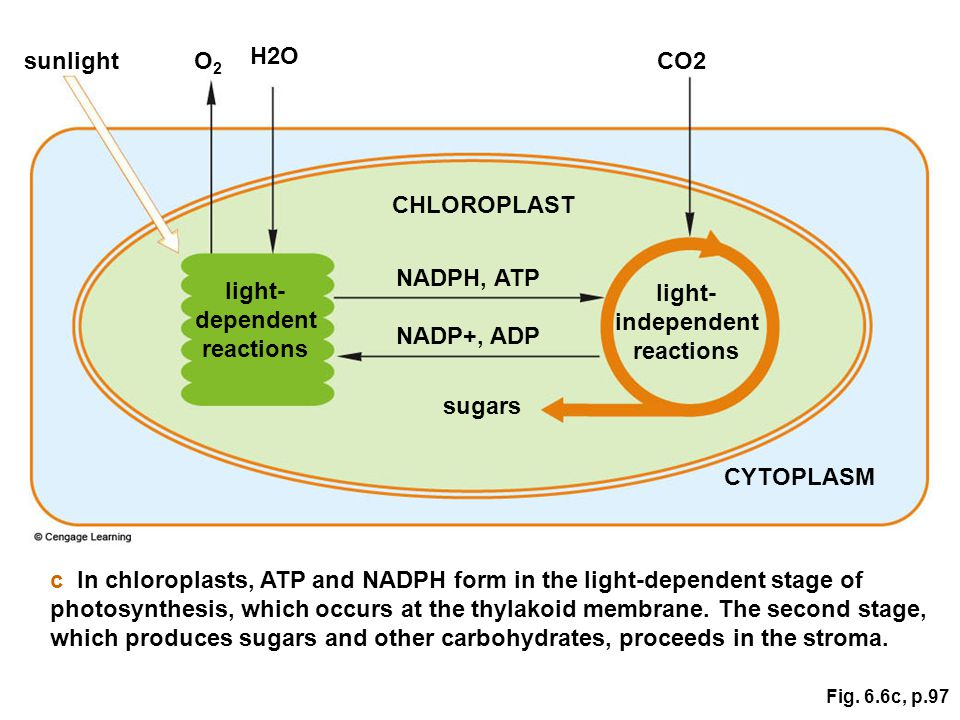 Fig. 6.6c, p.97 sunlight H2O light- dependent reactions CO2 light- independent reactions O2O2 NADPH, ATP CHLOROPLAST CYTOPLASM NADP+, ADP sugars c In
