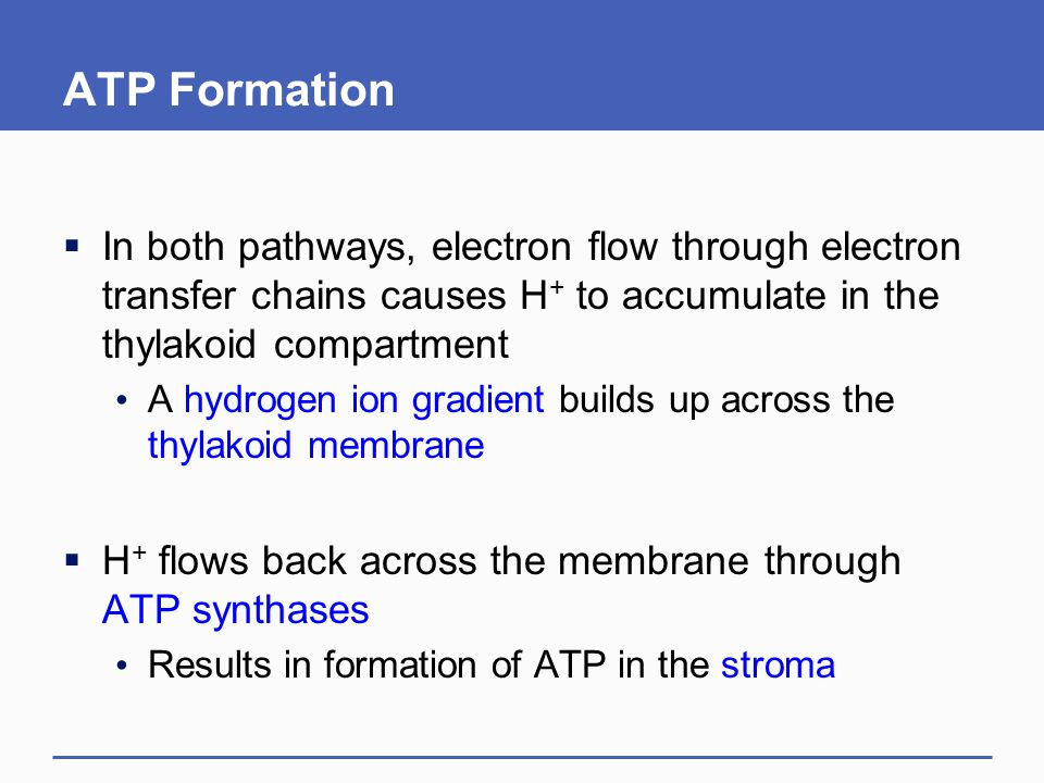 ATP Formation  In both pathways, electron flow through electron transfer chains causes H + to accumulate in the thylakoid compartment A hydrogen ion