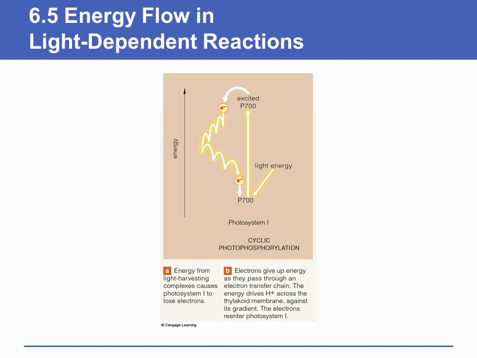 6.5 Energy Flow in Light-Dependent Reactions