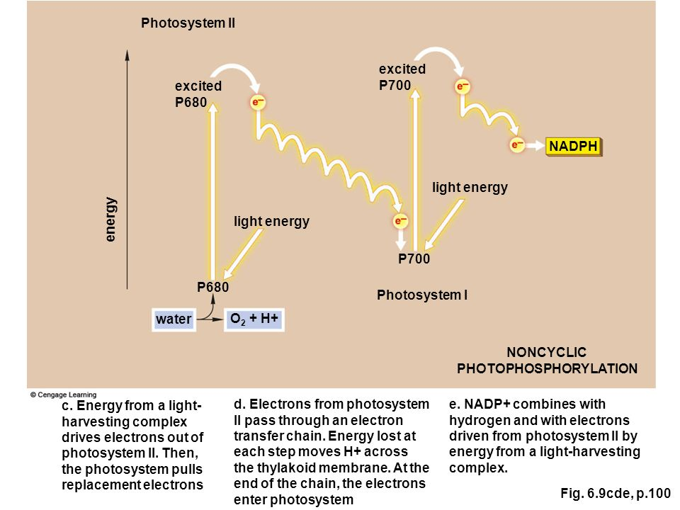 Fig. 6.9cde, p.100 NADPH P700 Photosystem II P680 excited P680 excited P700 Photosystem I light energy energy light energy NONCYCLIC PHOTOPHOSPHORYLAT