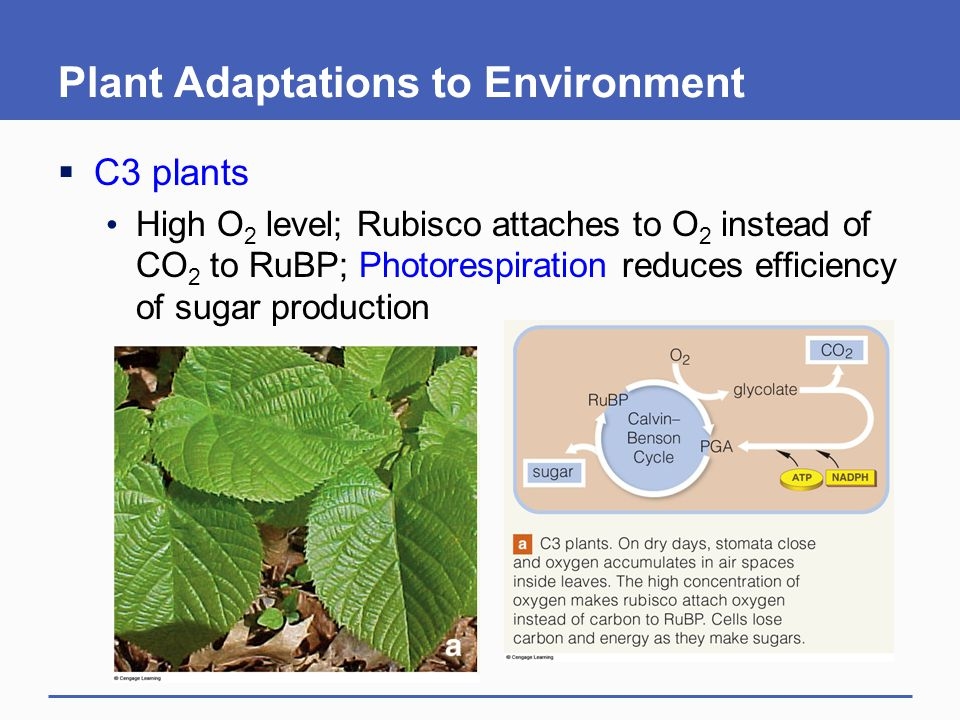 Plant Adaptations to Environment  C3 plants High O 2 level; Rubisco attaches to O 2 instead of CO 2 to RuBP; Photorespiration reduces efficiency of s