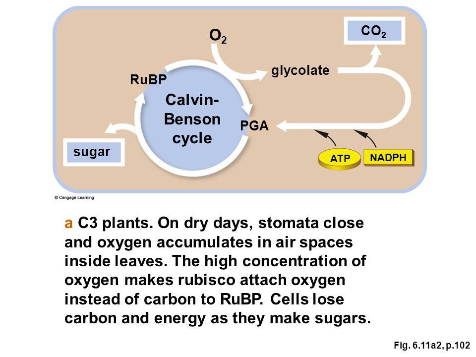 Fig. 6.11a2, p.102 Calvin- Benson cycle RuBP sugar PGA CO 2 glycolate O2O2 ATP NADPH a C3 plants. On dry days, stomata close and oxygen accumulates in